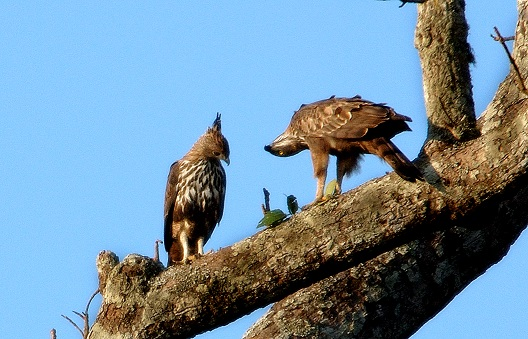 Eagle courting