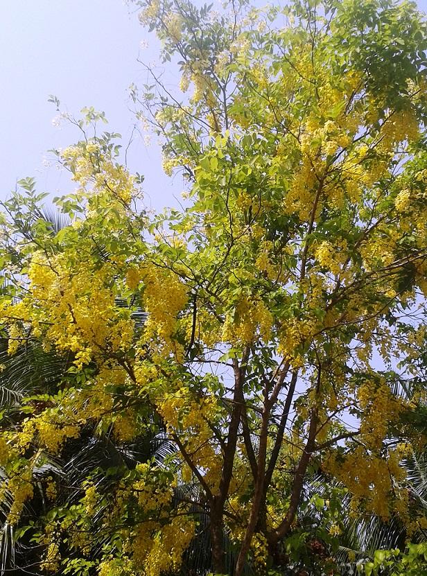 கொன்றை மரம்