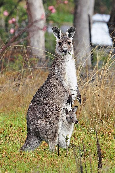 400px-Kangaroo_and_joey03
